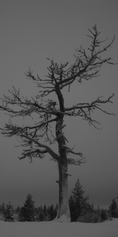 Sneeuwboom2